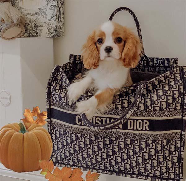 Túi Dior Book Tote chứa chó, thú cưng
